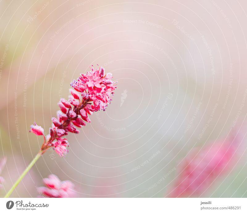 pink lavendel schön Pflanze Farbe Blume Herbst Blüte rosa Park Nebel leuchten Wachstum Fröhlichkeit Wassertropfen Blühend Tau Inspiration