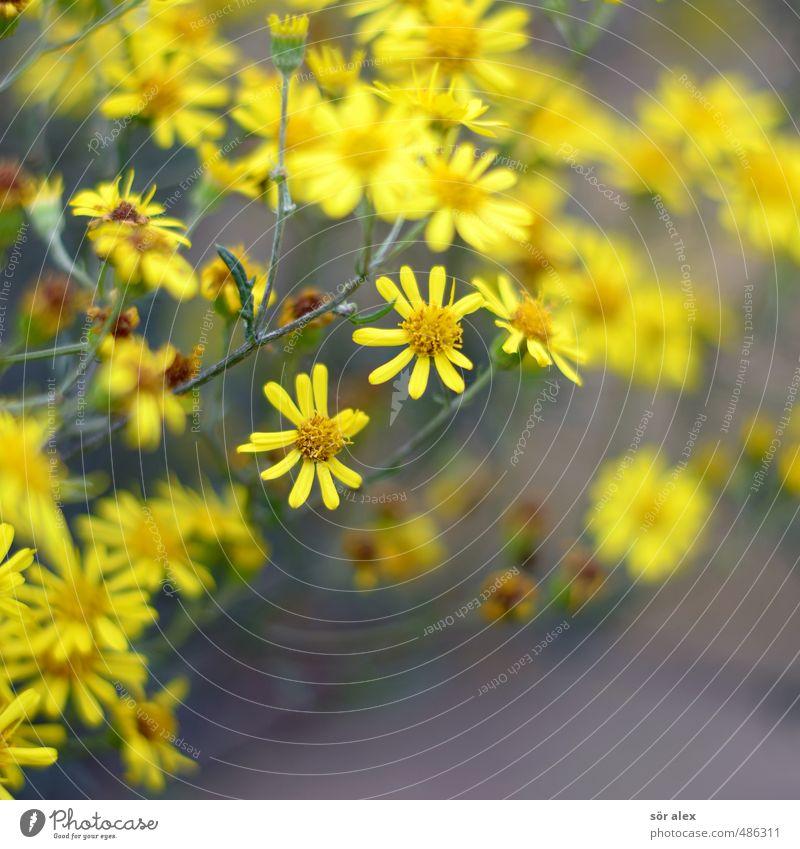 gelbe Blümchen Umwelt Pflanze Frühling Sommer Blume Blatt Blüte Wildpflanze Garten Blühend Duft Frühlingsgefühle Natur Jakobskreuzkraut Kräuter & Gewürze