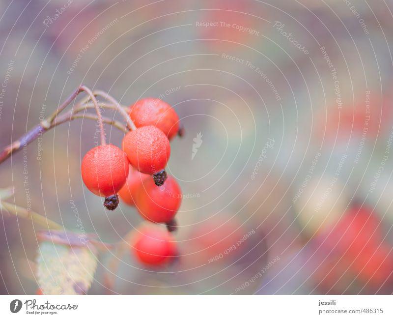 Hage Pflanze rot ruhig Herbst Park Frucht Nebel Zufriedenheit nass Wassertropfen einfach retro rund Rose rein fest