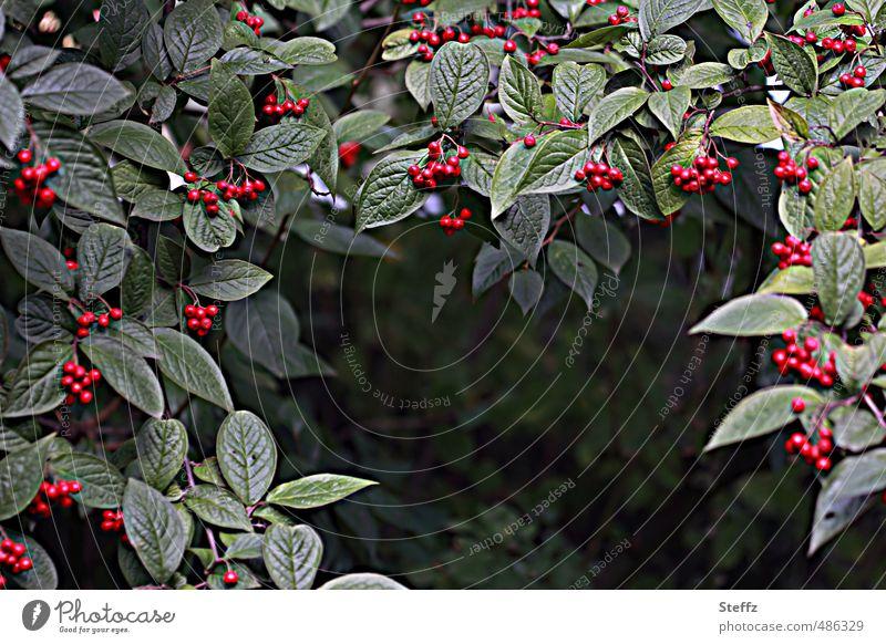 Beerenvorhang Natur Pflanze Herbst Blatt Wildpflanze Beerensträucher Beerenfruchtstand Garten grün rot Herbstgefühle September rot-grün Vorhang dunkelgrün