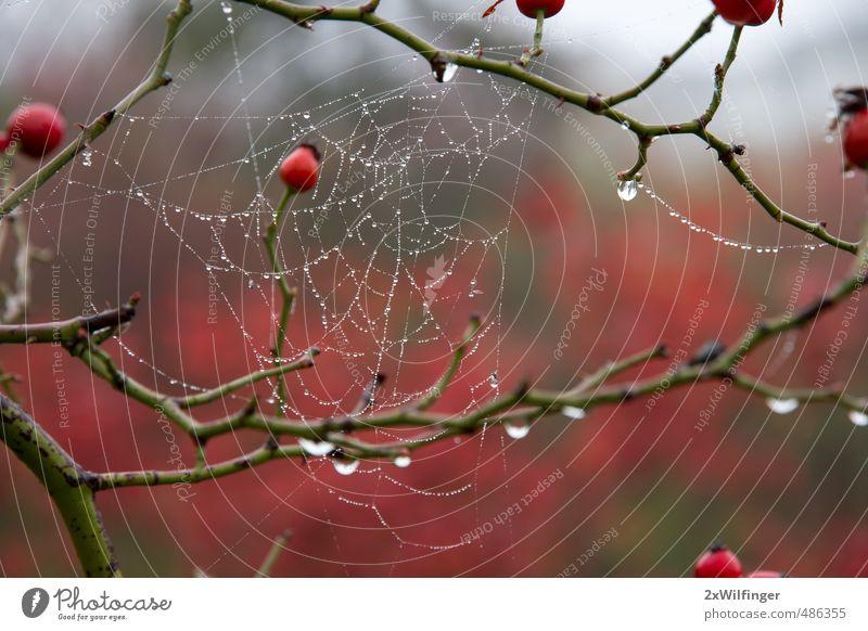 Spinnennetz im Herbst nach dem Regen Natur Stadt Pflanze grün schön Wasser Baum rot Landschaft Tier Wald kalt Umwelt natürlich Holz