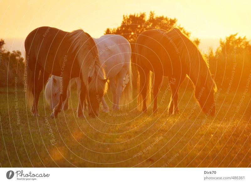 All the pretty horses Reiten Reitsport Sonne Sonnenlicht Sommer Schönes Wetter Wärme Feld Nordsee Meer Weide Haustier Pferd 3 Tier Tiergruppe Fressen ästhetisch
