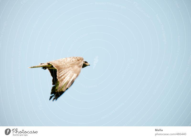 Catch me if you can Himmel Natur blau Tier Umwelt Bewegung Freiheit natürlich Luft Vogel fliegen Wildtier frei Bussard Mäusebussard