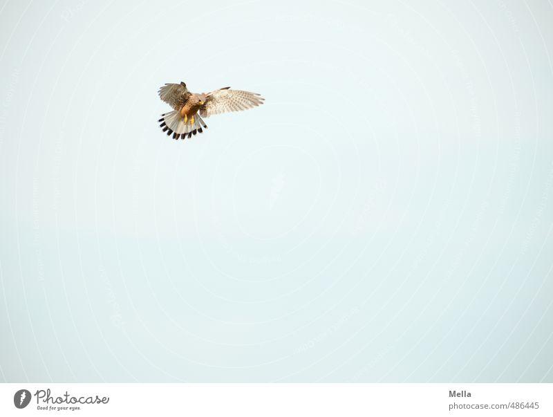 Anvisieren Umwelt Natur Tier Luft Himmel Wildtier Vogel Falken Turmfalke 1 beobachten fliegen Jagd Blick einfach frei hoch natürlich Ausdauer anstrengen