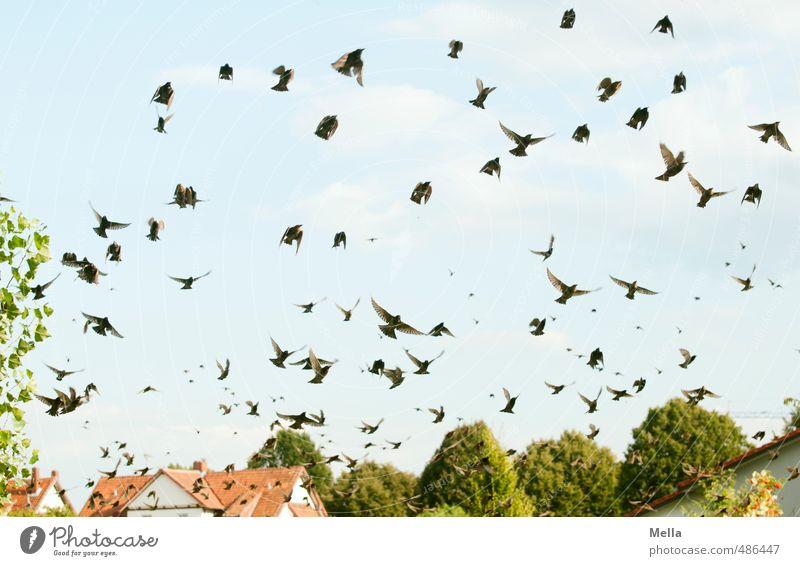 Der Schwarm Umwelt Natur Landschaft Himmel Haus Einfamilienhaus Dach Tier Wildtier Vogel Star Bewegung fliegen frei natürlich viele Freiheit Zugvogel ansammeln