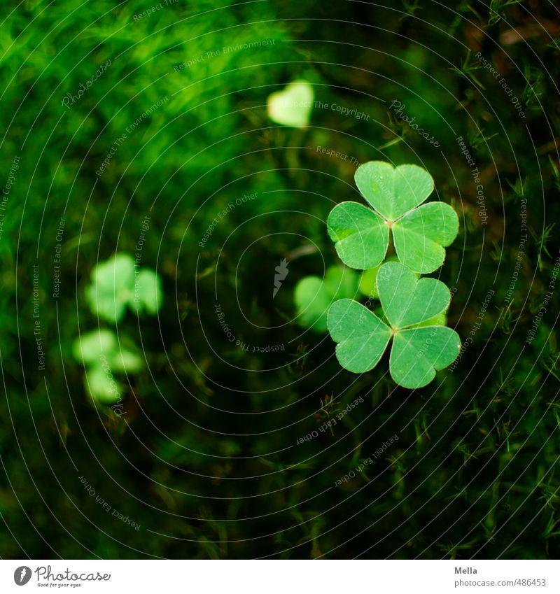 Zwergenglück Natur grün Pflanze Blatt Wald Umwelt Glück natürlich Erde Wachstum Vergänglichkeit nachhaltig Moos Grünpflanze Klee Wildpflanze