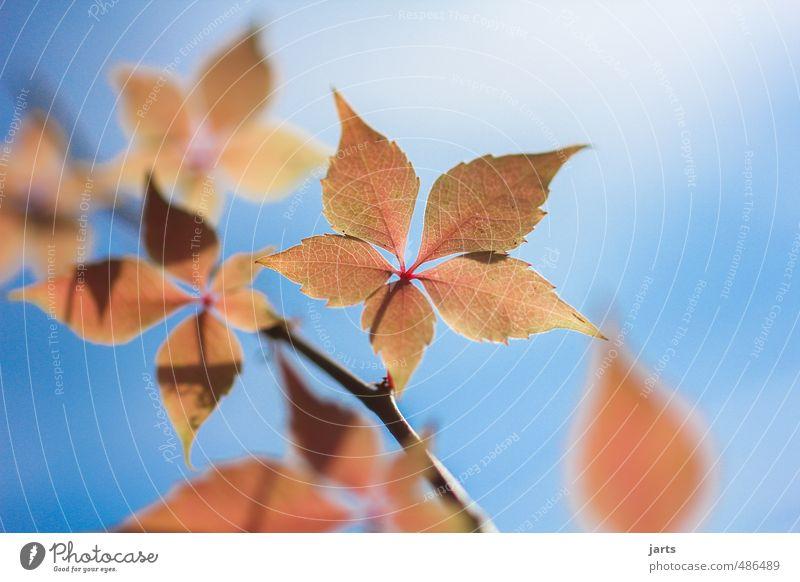 herbstlich Pflanze Himmel Herbst Schönes Wetter Blatt Garten Park frisch natürlich schön blau orange rot Gelassenheit ruhig Natur Wein Farbfoto Außenaufnahme