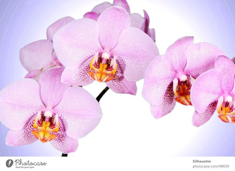 Orchidee 2 Blume Blüte rosa schön Natur himmlich