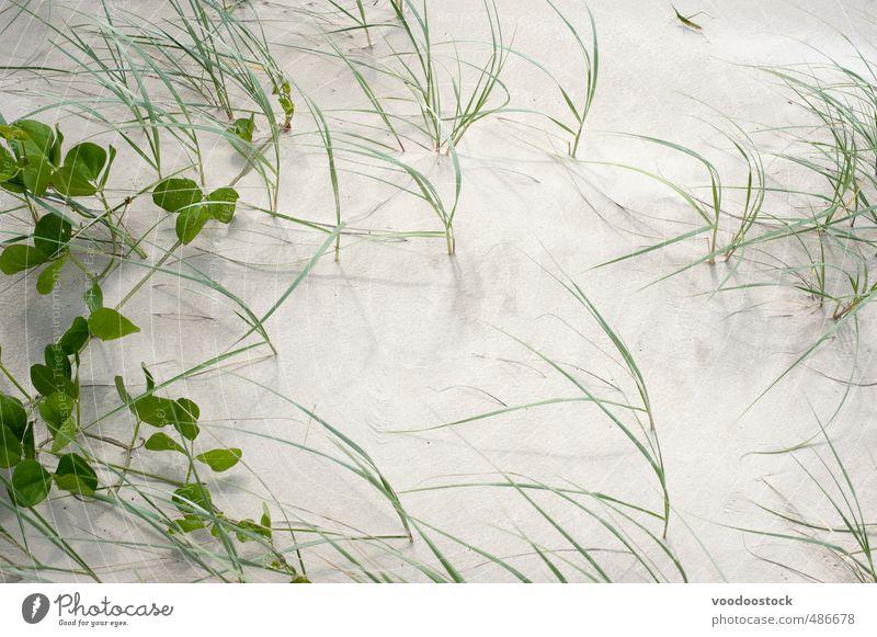 Dünengras und Sandhintergrund Sonne Strand Natur Urelemente Sonnenlicht Sommer Pflanze Gras Grünpflanze Küste oben wild gold grün Ferien & Urlaub & Reisen