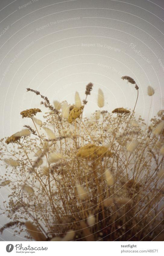 gebüsch Pflanze gelb Sträucher Blumenstrauß trocken getrocknet bräunlich Trockenblume