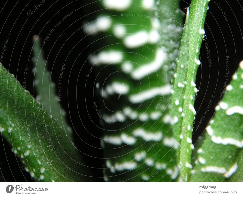 Grüne Vera Pflanze grün Palme Aloe schwarz Streifen Makroaufnahme Natur Nahaufnahme