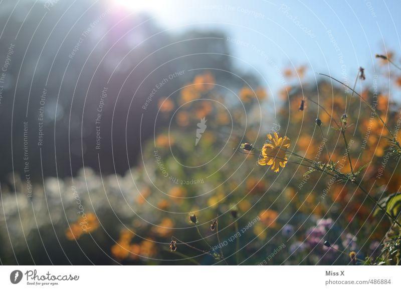 Sonnenschein Garten Wolkenloser Himmel Sonnenlicht Sommer Schönes Wetter Blume Blüte Blühend Duft Wachstum hell mehrfarbig Hoffnung Idylle Natur Blumenfeld