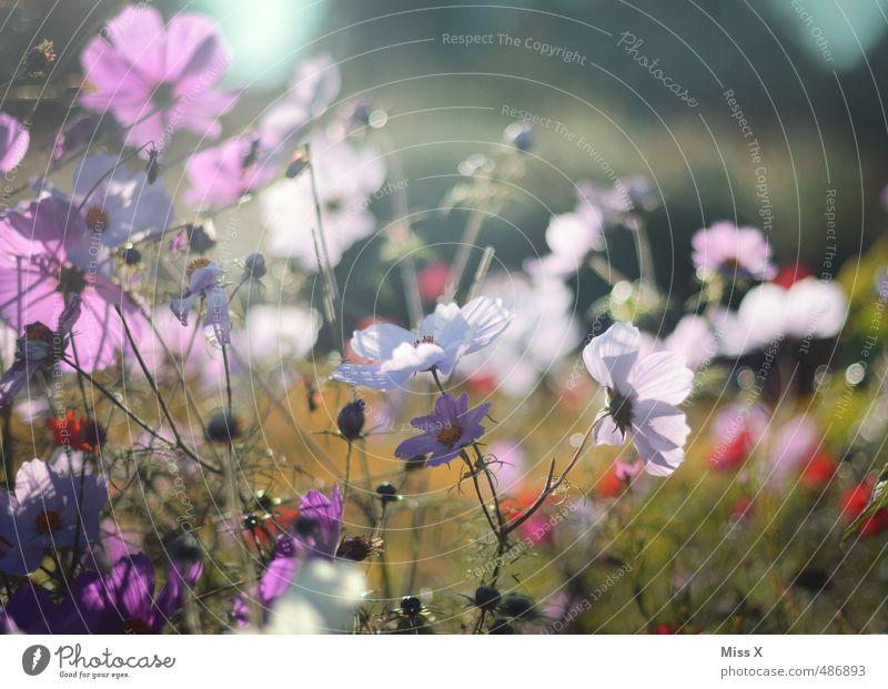 Cosmea Garten Sommer Blume Blatt Blüte Wiese Blühend Duft leuchten Blumenwiese Wiesenblume Schmuckkörbchen Sommertag Sommerabend Farbfoto mehrfarbig