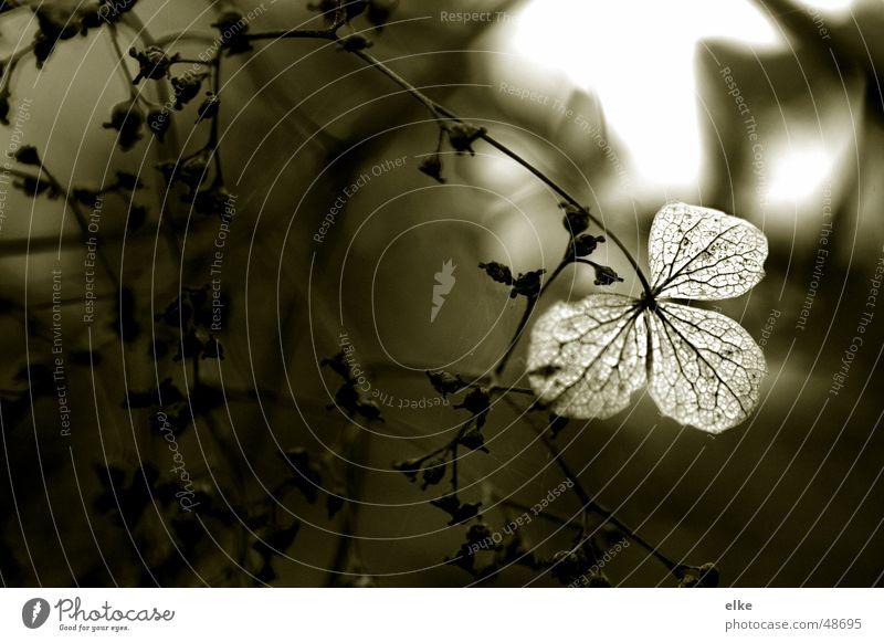 durchblick Natur Pflanze Herbst Blüte Traurigkeit Botanik vertrocknet verblüht getrocknet welk Hortensie