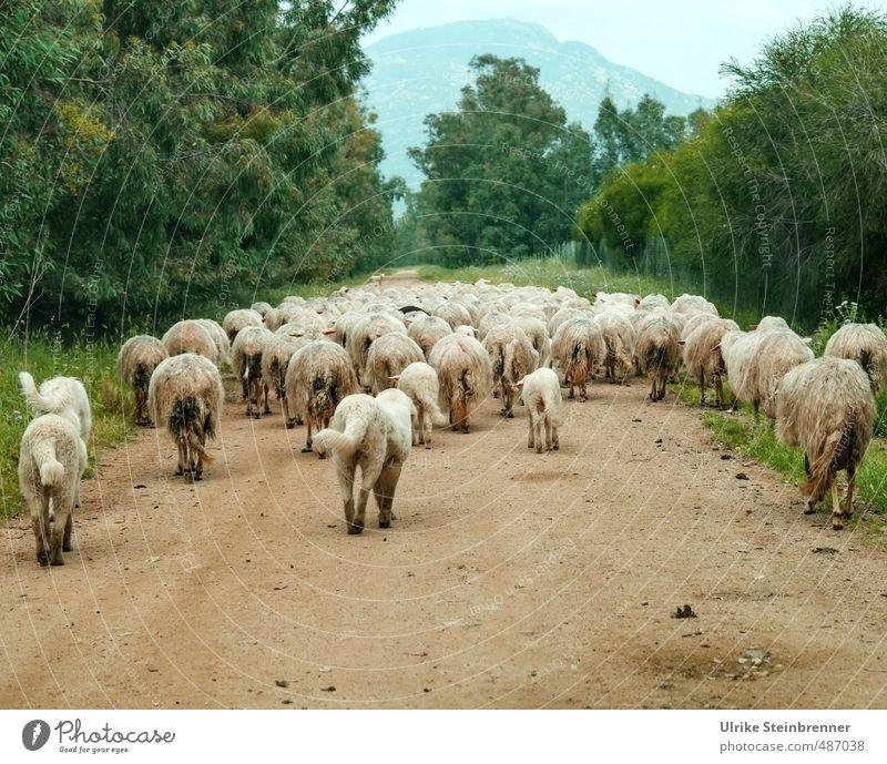Schafe oder Hunde? Umwelt Natur Landschaft Pflanze Tier Frühling Baum Sträucher Feld Hügel Sardinien Wege & Pfade Haustier Nutztier Fell Tiergruppe Herde gehen