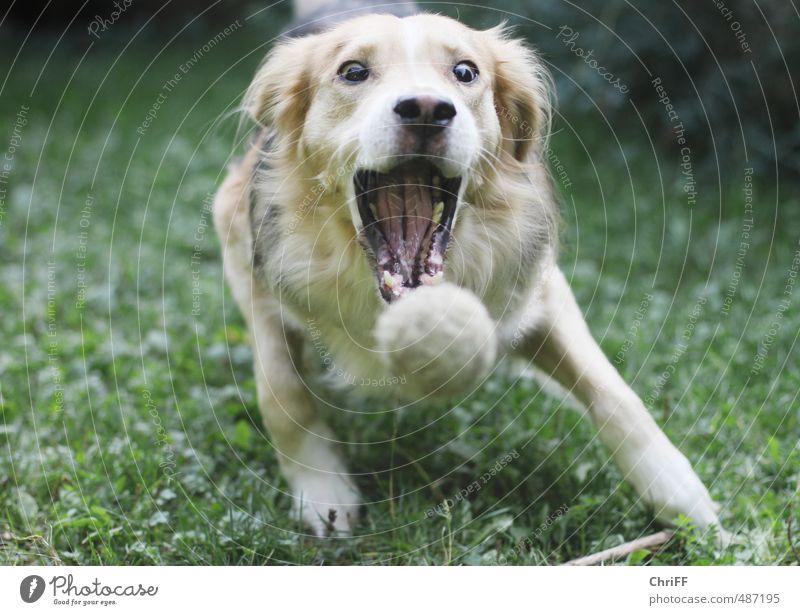 happ Hund grün weiß Freude Tier schwarz gelb Wiese Sport Spielen springen Garten braun Park gold wild
