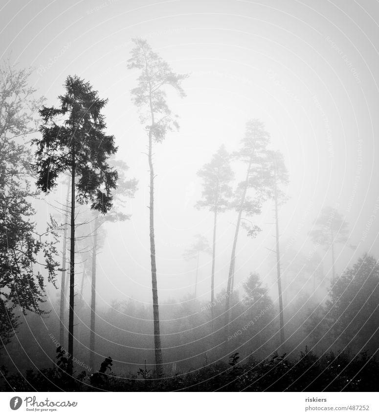 einsame Riesen Umwelt Natur Landschaft Pflanze Herbst Wetter Nebel Wald Einsamkeit einzigartig kalt Kraft ruhig Schwarzweißfoto Außenaufnahme Menschenleer