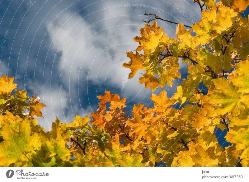 blätterdach Natur Pflanze Wolken Herbst Baum hängen leuchten gelb Leichtigkeit Verfall Herbstlaub Blatt Blätterdach herbstlich Sonnenstrahlen mehrfarbig