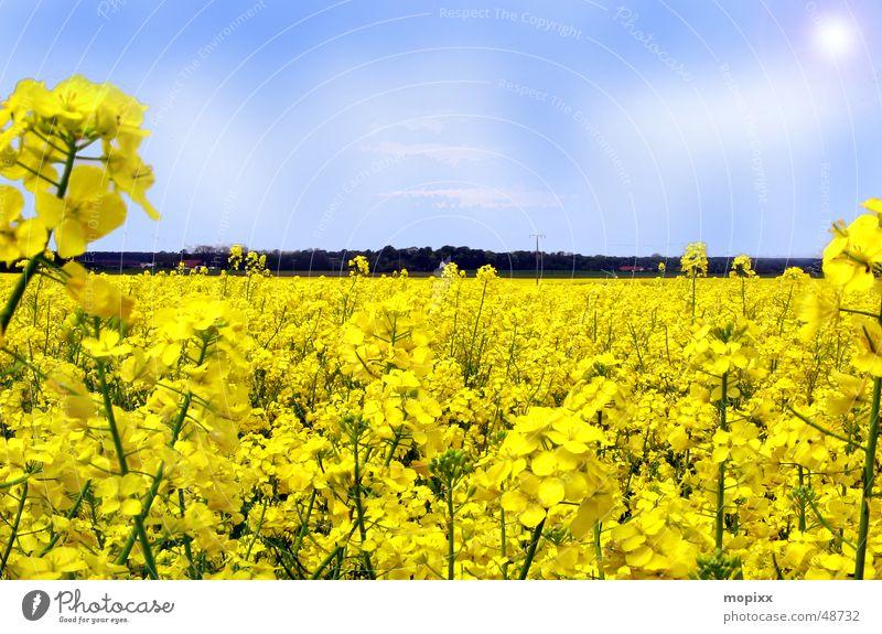 Blumenbett Himmel Sonne gelb Feld Horizont Dresden Raps