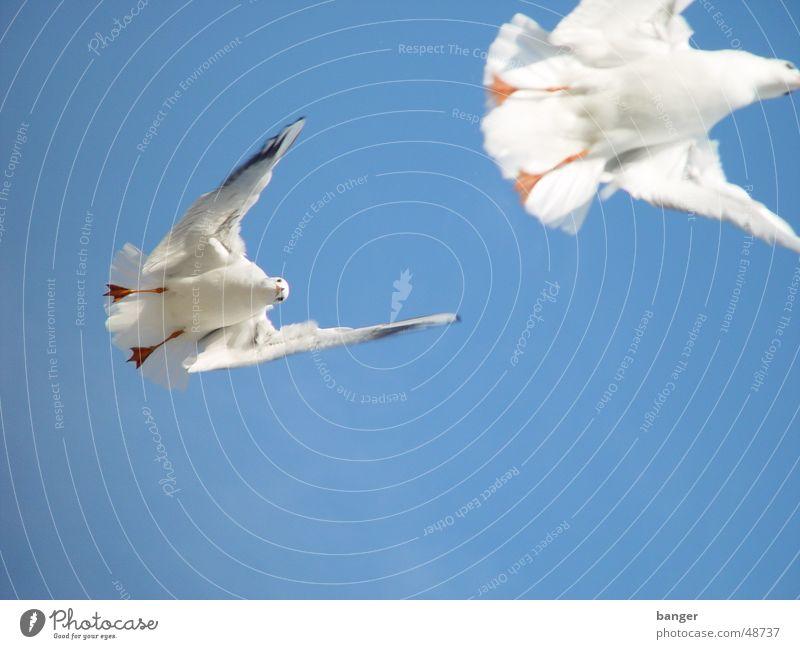 kleine, weiße Friedensmöwe ... Meer Strand Möwe Vogel Futter Ostsee Appetit & Hunger hitchcock Sonne Himmel blau