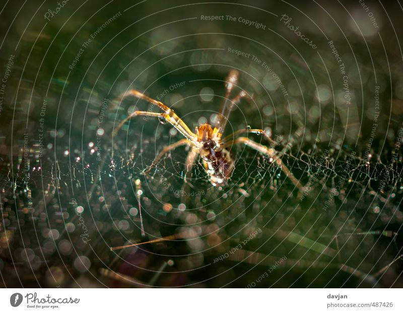 ertappt Umwelt Natur Tier Spinne 1 beobachten Bewegung Fressen füttern Jagd Aggression bedrohlich authentisch Ekel gruselig hässlich listig trashig braun grün