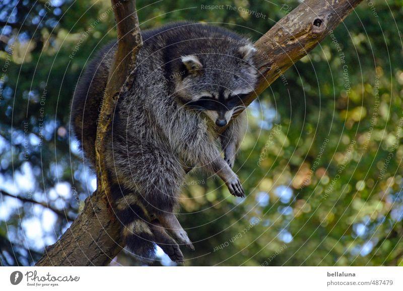 WASCHEN, schneiden, LEGEN Umwelt Natur Pflanze Tier Himmel Schönes Wetter Baum Park Wald Wildtier Tiergesicht Fell Pfote 1 hängen schlafen Waschbär Landraubtier
