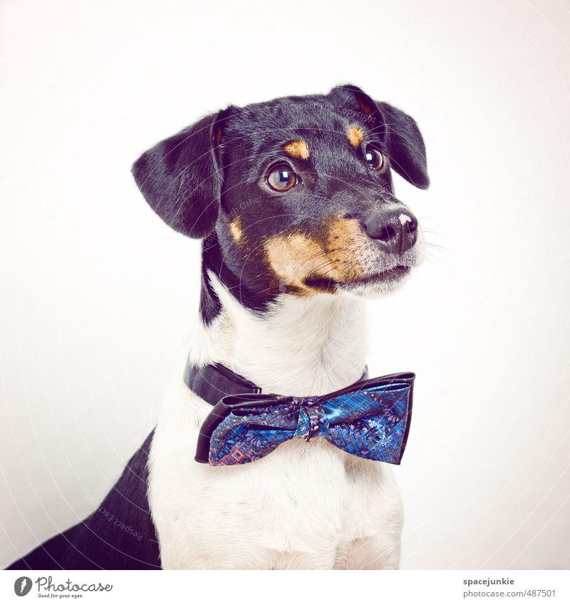 Johnny Tier Haustier Hund 1 warten außergewöhnlich Coolness lustig Neugier blau gelb schwarz weiß Hundekopf Hundeblick Fliege Mode Fashion Humor niedlich schön