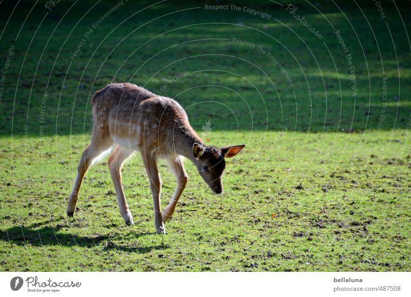 Bambi Natur Pflanze Tier Wald Umwelt Tierjunges Wiese Herbst Gras Park Feld Wildtier laufen Schönes Wetter Rasen Fell