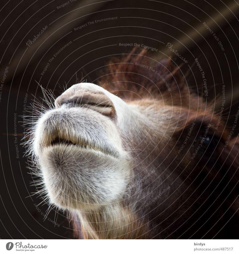 Bärte sind wieder im kommen Tiergesicht Kamel Dromedar Nüstern 1 ästhetisch außergewöhnlich positiv braun grau weiß Neugier Kontrolle Haare & Frisuren