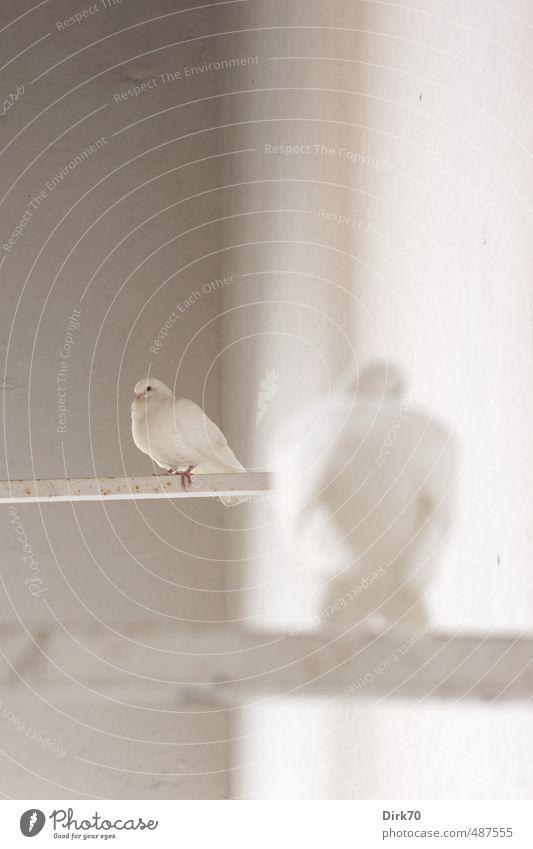Taubenduo, Hochformat Stadt weiß Erholung ruhig Tier schwarz Wand Leben Mauer grau Vogel rosa Fassade sitzen Wildtier authentisch