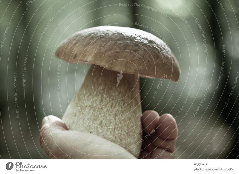 Kawenzmann Pilzsucher Ausflug wandern Hand Finger Natur Pflanze Herbst Pilzhut Steinpilze Dickröhrling Wald berühren Duft entdecken Essen gut schön lecker