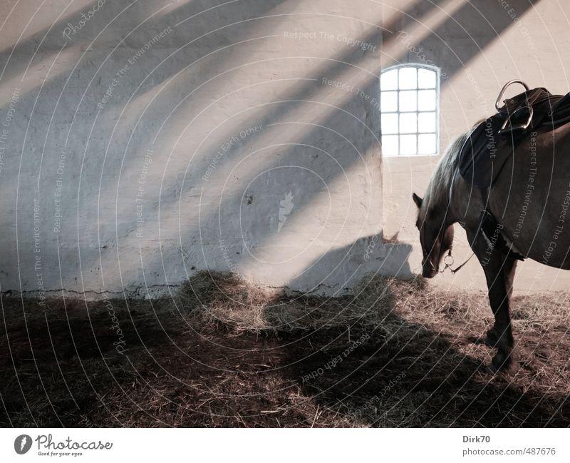 Warten auf den Ausritt weiß Erholung Einsamkeit ruhig Tier schwarz dunkel Fenster Wand Mauer grau braun trist warten stehen Pferd