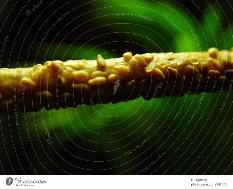 Sesamstange Natur grün Pflanze ruhig Ernährung braun beige Stab Snack