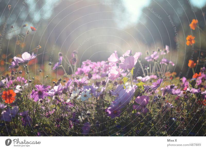 Wilder Garten Sommer Blume Wiese Frühling Blüte hell Blühend Duft sommerlich Blumenwiese Wiesenblume Schmuckkörbchen