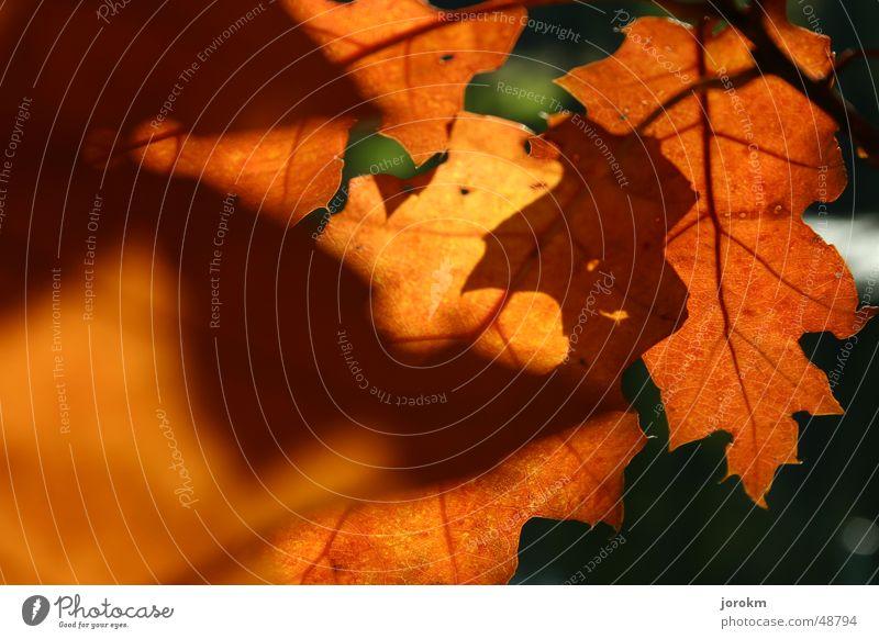 Herbst Licht Blatt Faser Wärme Schatten Duft Sonne
