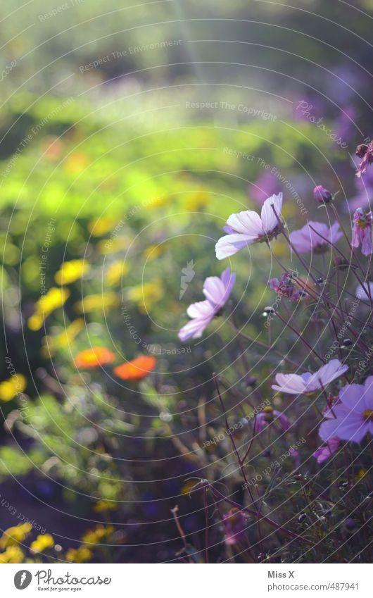 Sonnenschein Garten Frühling Sommer Blume Blüte Blühend Duft mehrfarbig Stimmung Beginn Hoffnung Idylle Natur Wachstum Blumenwiese Wiesenblume Schmuckkörbchen