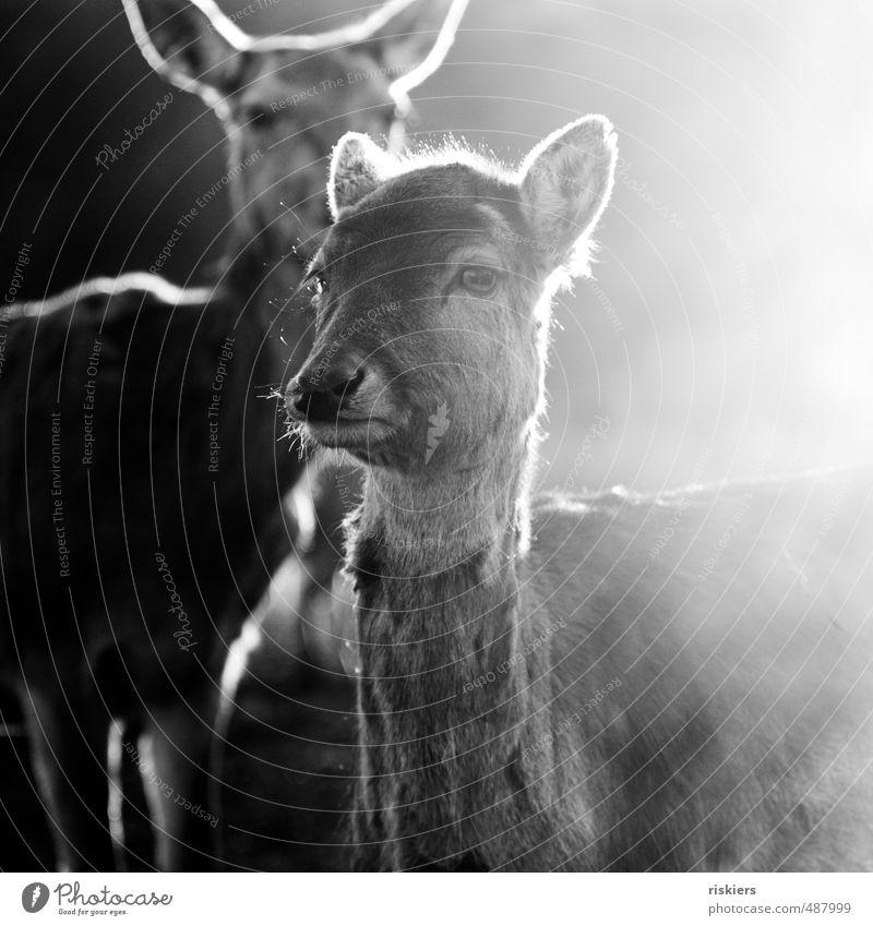 glowing deer - das beste zum schluß ;) ruhig Tier Umwelt Herbst Frühling Kraft Idylle Nebel Wildtier leuchten warten ästhetisch beobachten einzigartig Neugier