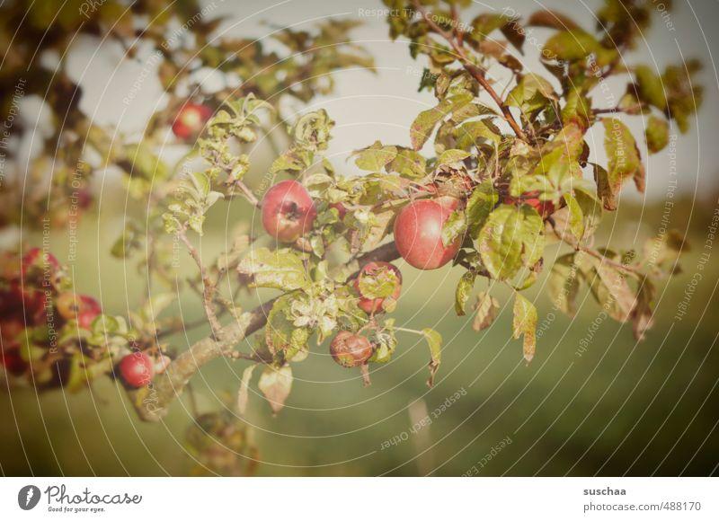 sind noch welche übrig ... Umwelt Natur Herbst Schönes Wetter Baum Blatt Garten grün rot Apfel Apfelbaum Frucht Obstgarten Farbfoto Gedeckte Farben