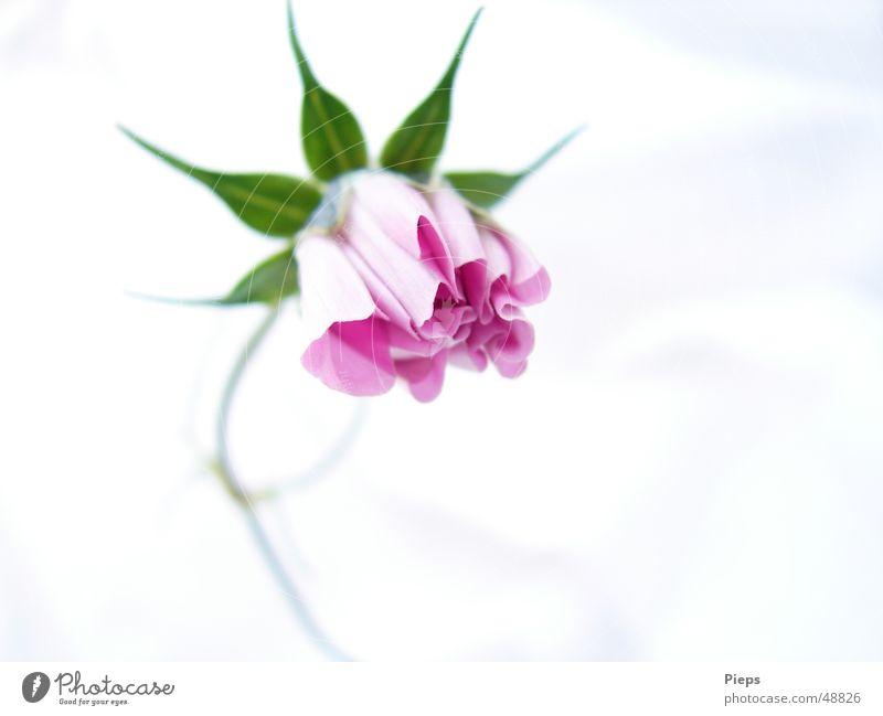 Rosa Entfaltung Natur Pflanze Blume Blüte Garten Kraft elegant Wachstum Blühend Blütenknospen Entwicklung zierlich