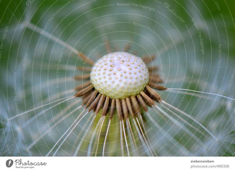 Warten auf den Wind schön grün weiß Pflanze Sommer Blume natürlich träumen Stimmung fliegen Feld Beginn ästhetisch Hoffnung Blühend rund