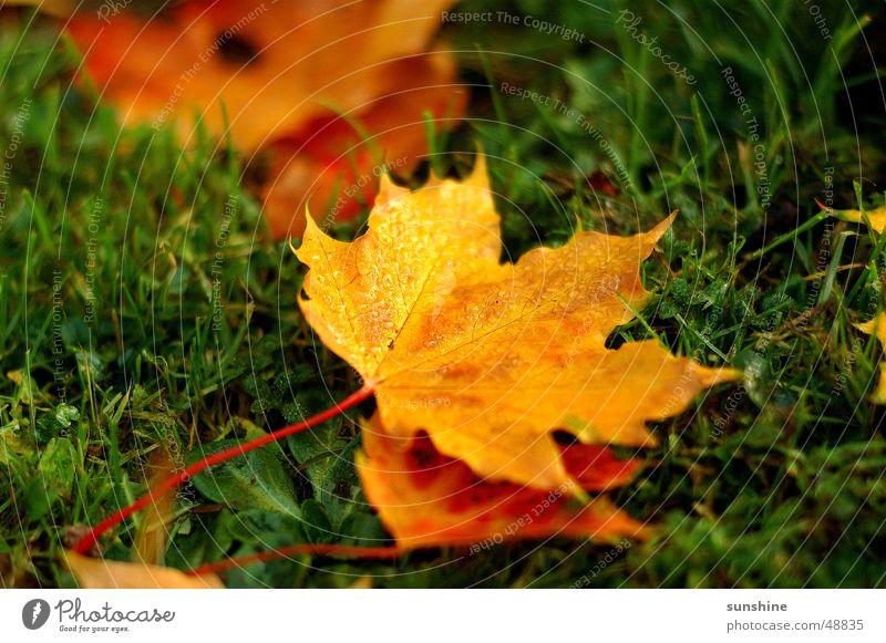 Herbst Blatt gelb Ahorn Ahornblatt