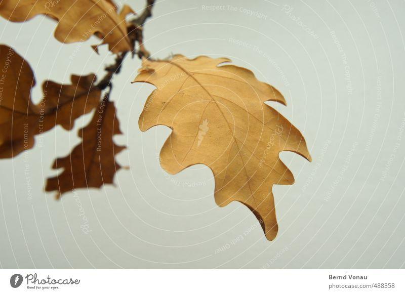 Freitagsblatt Herbst Pflanze Blatt schön braun grau schwarz weiß herbstlich Zweig Tod Farbe Umrisslinie Strukturen & Formen Blattadern Vergänglichkeit