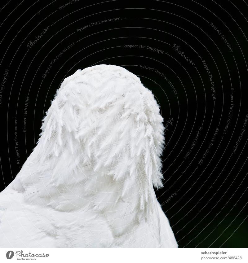 Ich hab die Haare schön ... Tier Vogel Seeadler Schreiseeadler 1 weiß Adler Greifvogel Habichtartige Kopf Feder Hochmut Farbfoto Außenaufnahme Menschenleer