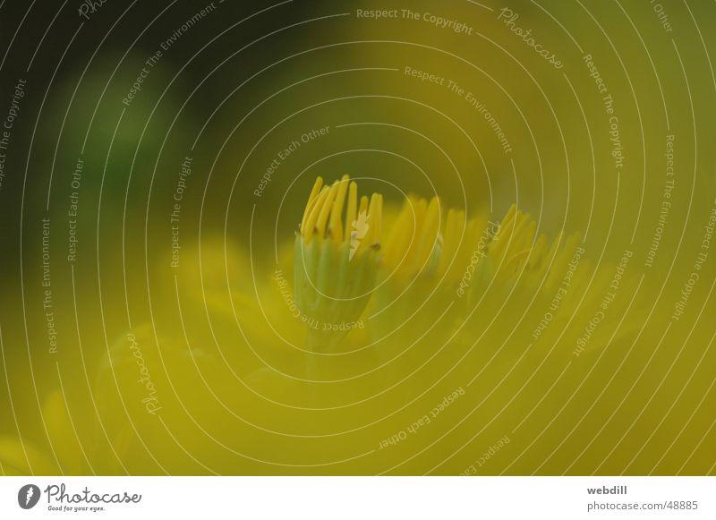 Gelbe Blume Sonne grün gelb Wärme Physik Grünpflanze Wegrand Weichzeichner