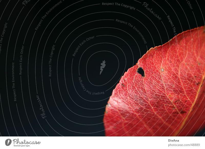 gelocht (1) rot Blatt schwarz Herbst glänzend Wandel & Veränderung fallen Loch Anschnitt Gefäße Färbung
