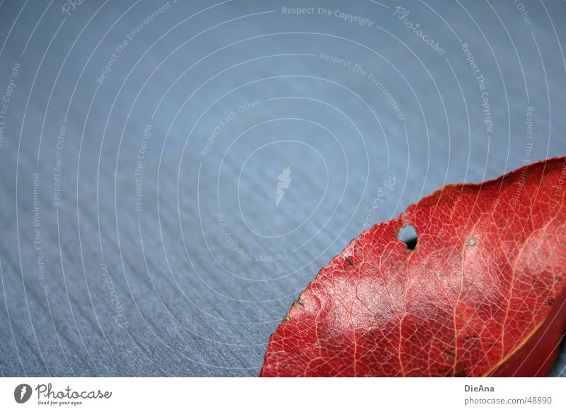 gelocht (2) Herbst Blatt fallen glänzend blau rot Wandel & Veränderung Gefäße Färbung Loch leaf red hole pattern blue glow autumn discolouring change Anschnitt