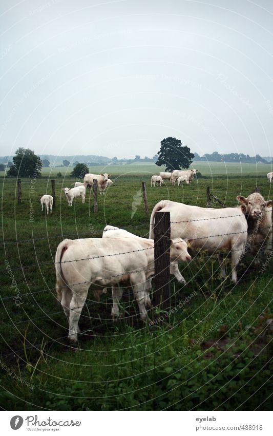 Mühe Umwelt Natur Landschaft Pflanze Tier Himmel Wolken Sommer Klima Wetter schlechtes Wetter Baum Gras Sträucher Wiese Feld Haustier Nutztier Kuh Tiergruppe