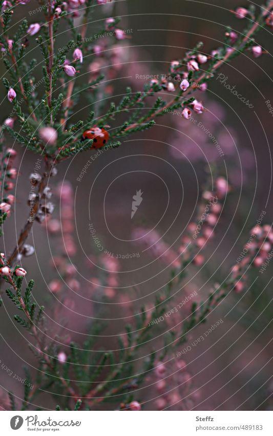 Glückskäfer auf einem Heidestrauch Heidestille nordisch heimisch heimische Wildpflanze heimische Pflanzen nordische Wildpflanzen mysteriöse Heide lilarosa