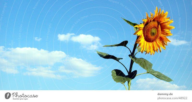 die letzte Blume Sommer Sonnenblume stehen Wolken gelb grün Ernährung lecker Wachstum rund Blatt Amerika Natur blau lebenmittel Lebensmittel blat