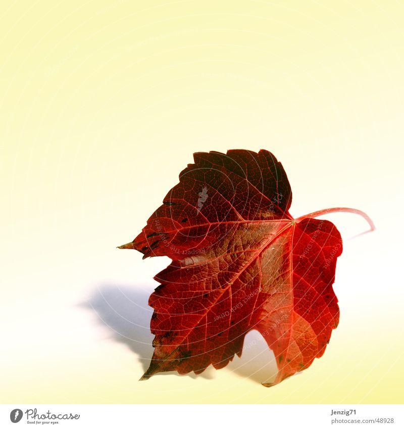 Das Blatt. Weinblatt Herbst Baum Pflanze Herbstlaub herbstlich